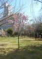 キャンパスの早咲き桜