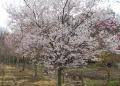 小彼岸桜(高遠桜)①