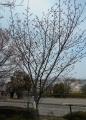 横浜緋桜の現状