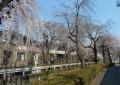 砂川堀沿いのしだれ桜