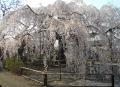 満開の地蔵院しだれ桜