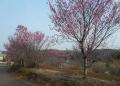 陽光桜(?)