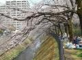 枝が川面に垂れるのは向日性だとか