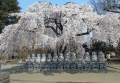 十三仏としだれ桜