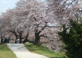 桜の密集地帯