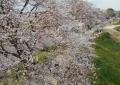 富士下橋から見た桜堤①