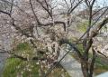 富士下橋から見た桜堤②