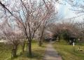 多種類の桜が…