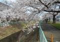 大谷川の桜並木①