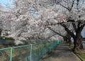 大谷川の桜並木②