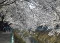 大谷川の桜並木③