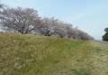 土手の上の桜並木と思いきや