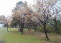 大半が葉桜