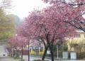圧巻、横浜緋桜の並木