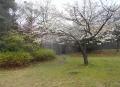 まきばの丘には多種類の桜が