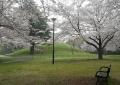 見晴らし山付近の桜