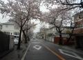本牧桜道①
