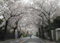 本牧桜道②