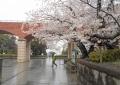 霧笛橋と芸亭の桜