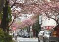 桜通りにきてみると…