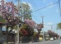 桜並木(八重桜)