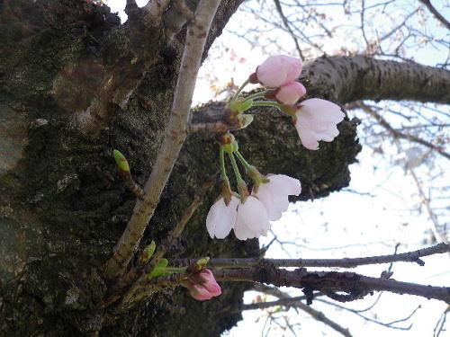 桜 2017 4 2-5