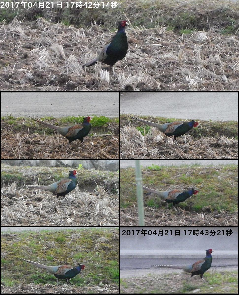170421_pheasant.jpg