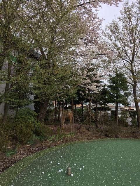 パター練習葉桜