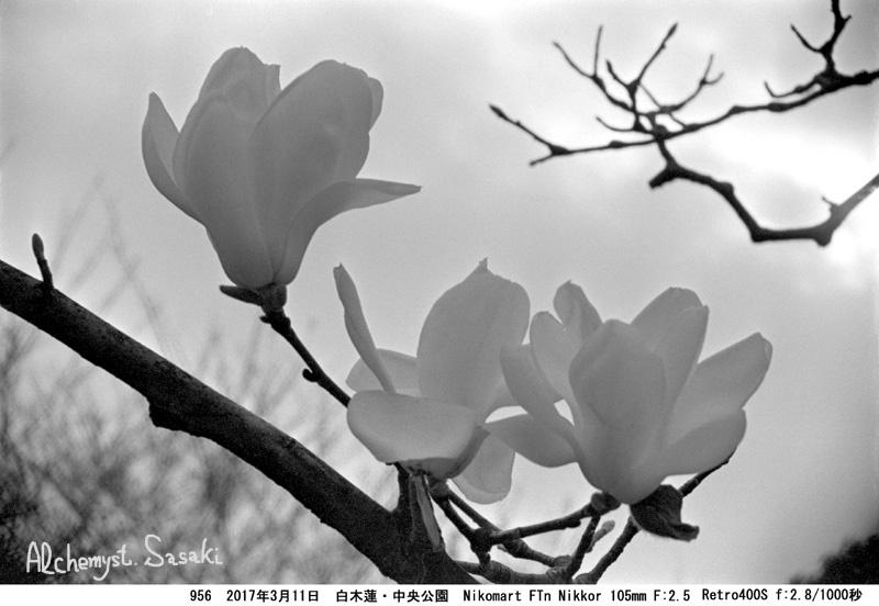 白木蓮956-23