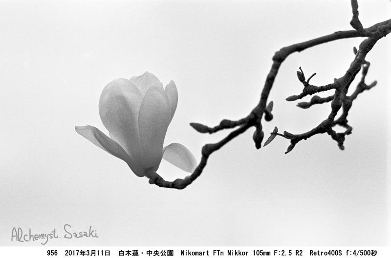 白木蓮956-12