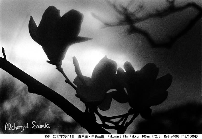 白木蓮956-17 Ⅱ
