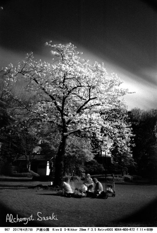 戸越公園の桜967-22