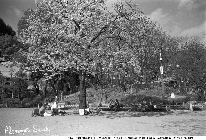 戸越公園の桜967-16