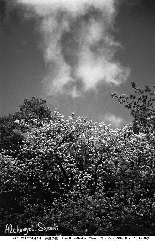 戸越公園の桜967-34