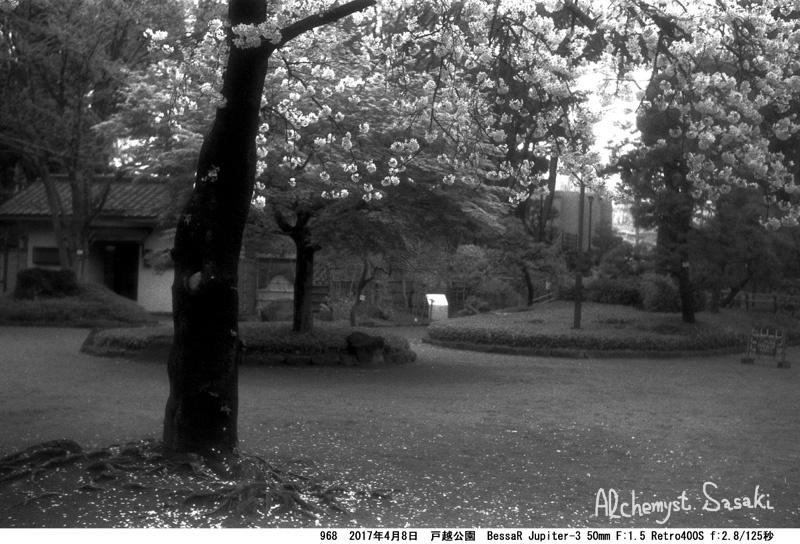 戸越公園の桜968-8