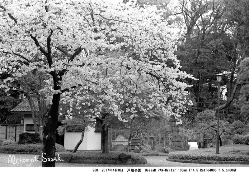 戸越公園の桜968-18