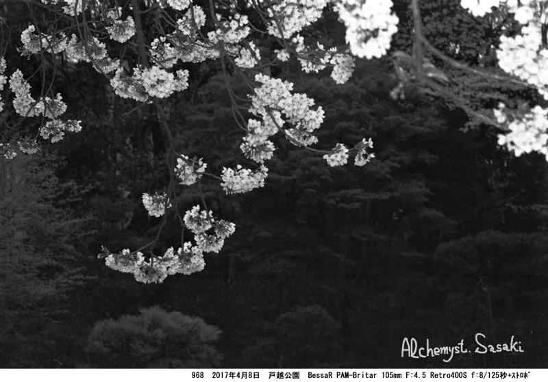 戸越公園の桜968-23