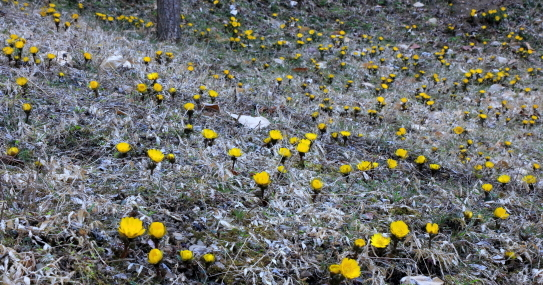 福寿草の大群落