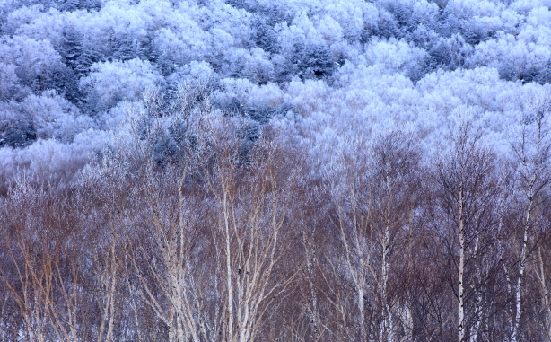 霧氷に覆われた凍てつく岳樺の森