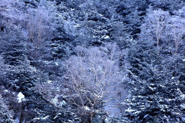 針葉樹林に映える霧氷の岳樺