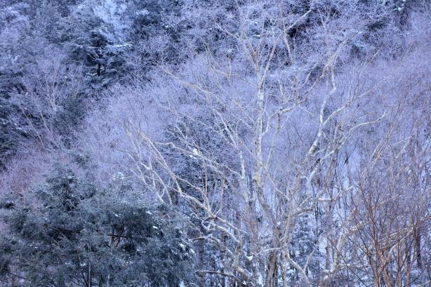 凍てつく岳樺