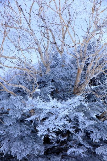 針葉樹と共生する岳樺