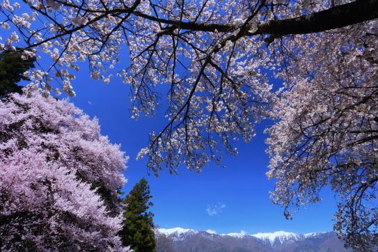 青空に爛漫と咲く桜と中央アルプス