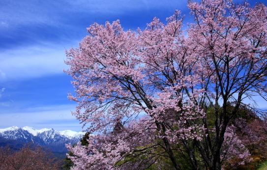 残雪の中央アルプスと彼岸桜