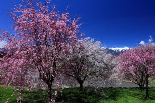 駒ヶ根市の桜と宝剣岳