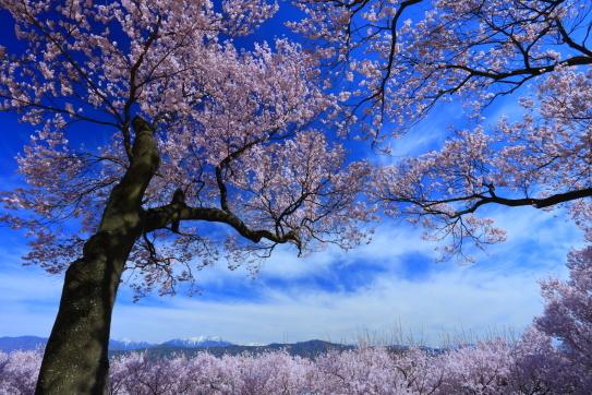 伊那市春日公園の桜と南アルプス