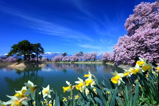 六道ノ堤を彩る桜と水仙と雲