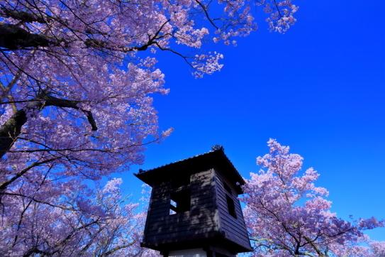 高遠城址太鼓櫓と彼岸桜