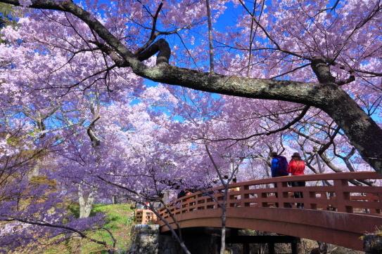 高遠城址桜雲橋と爛漫の桜