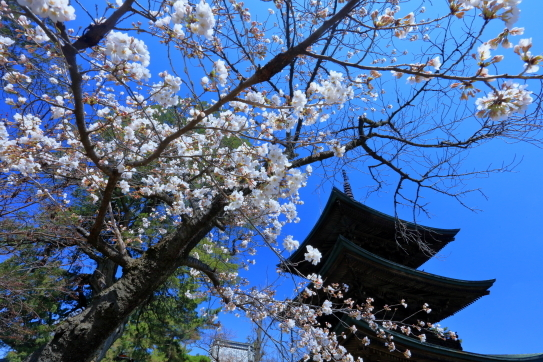 信濃国分寺三重塔と桜